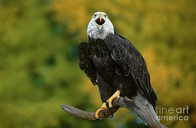 Photograph - Bald Eagle Hailaeetus Leucocephalus Wildlife Rescue by Dave Welling