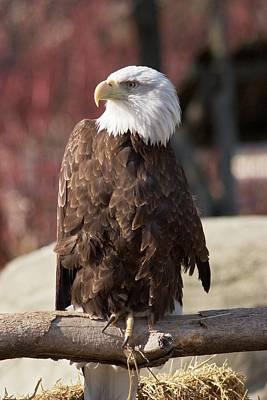 Michigan Detroit Zoo Photograph - Bald Eagle by Jim West