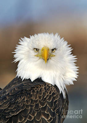 Photograph - Bald Eagle by Jim Zipp