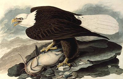 Eagle Drawing - Bald Eagle by John James Audubon