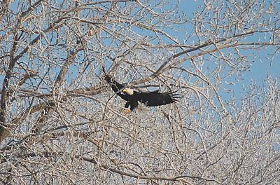 Photograph - Bald Eagle Landing by John Dart
