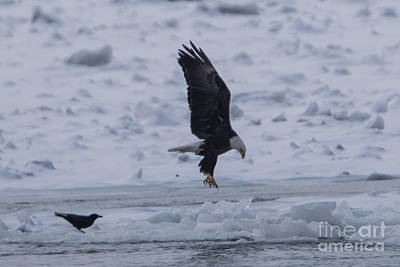 Photograph - Bald Eagle Landing by Ronald Grogan