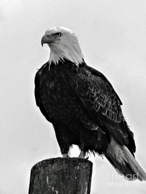 Photograph - Bald Eagle by Robert Bales