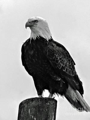 Photograph - Bald Eagle by Robert Bales