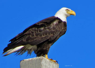 Photograph - Bald Eagle by T Guy Spencer