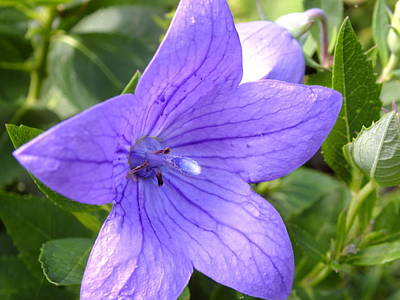 Photograph - Balloon Flower by Gene Cyr