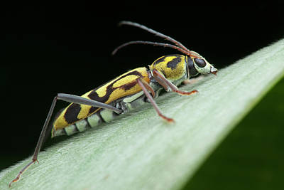 Longhorn Photograph - Bamboo Borer Beetle by Melvyn Yeo
