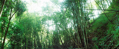 Bamboo Forest Photograph - Bamboo Forest, Chiang Mai, Thailand by Panoramic Images