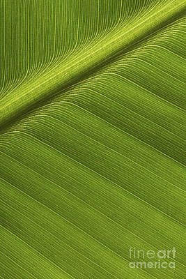 Banana Leaf Showing Rib Netherlands Art Print by Ronald Pol