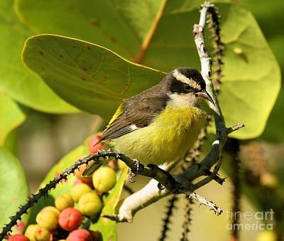 Photograph - Bananaquit With Berries by Adam Jewell
