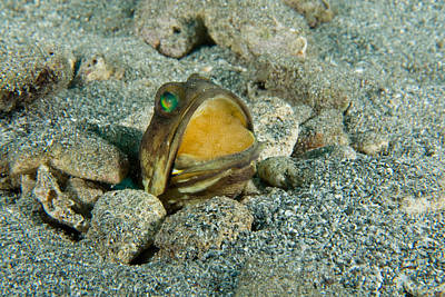 Banded Jawfish Incubating Eggs In Mouth Art Print by Andrew J. Martinez