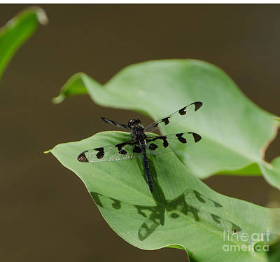 Photograph - Banded Pennant Dragonfly by Donna Brown