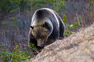 Photograph - Banff Grizzly Bear 3 by Terry Elniski