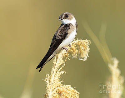 Travel - Bank Swallow by Dennis Hammer
