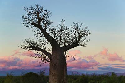 Baobab Photograph - Baobab Trees (adansonia by Keren Su
