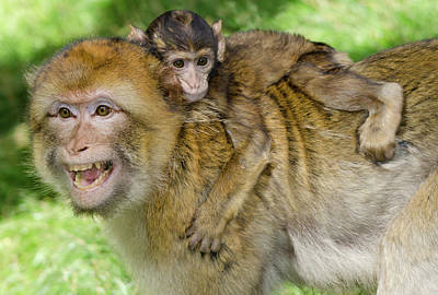Ape Photograph - Barbary Macaque And Baby by Nigel Downer