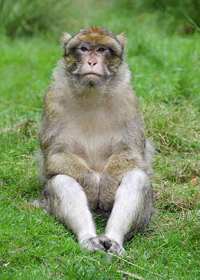 Ape Photograph - Barbary Macaque by Nigel Downer