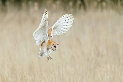 Barn Owl Photograph - Barn Owl by John Devries