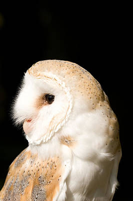 Barn Owl - Tyto Alba Print by Paul Lilley