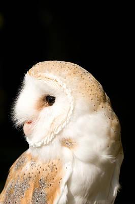 Photograph - Barn Owl - Tyto Alba by Paul Lilley