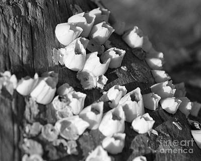 Photograph - Barnacles 2 by Kathy Flood