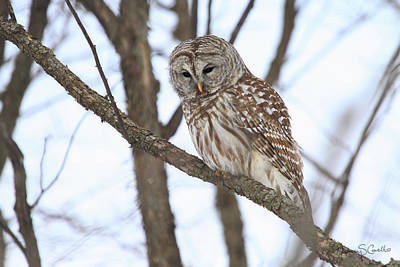 Photograph - Barred Owl by Nancy  Coelho