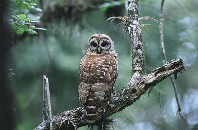 Cypress Swamp Photograph - Barred Owl by Paul J. Fusco