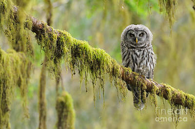 Photograph - Barred Owl Strix Varia Owlet by Thomas and Pat Leeson