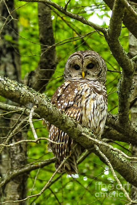 Barred Owl Art Print by Thomas R Fletcher