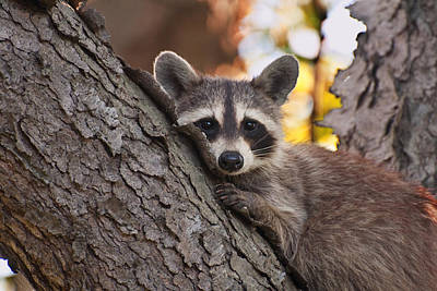 Raccoon Photograph - Bashful Raccoon by Benjamin DeHaven