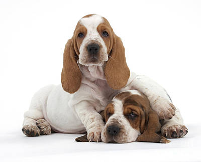 Droopy Photograph - Basset Hound Puppies by Jean-Michel Labat