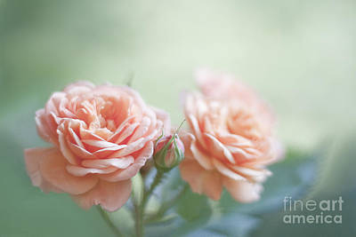 Roses Photograph - Bathing In Light by Maria Ismanah Schulze-Vorberg
