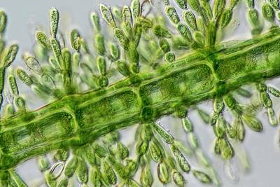 Algal Photograph - Batrachospermum Alga Filament by Gerd Guenther