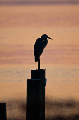 Great Blue Heron Photograph - Bay Blue Heron by Benjamin DeHaven