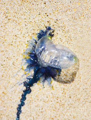 Photograph - Beached Bluebottle by Jorgo Photography - Wall Art Gallery