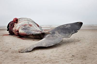 Carcass Photograph - Beached Sperm Whale Body by Thomas Fredberg