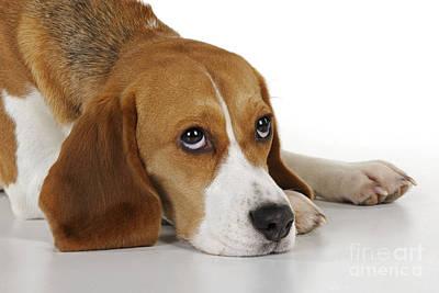 Sleepy Head Photograph - Beagle by John Daniels