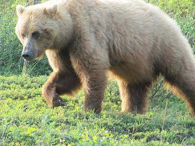 Photograph - Bear At Denali by Lisa Dunn