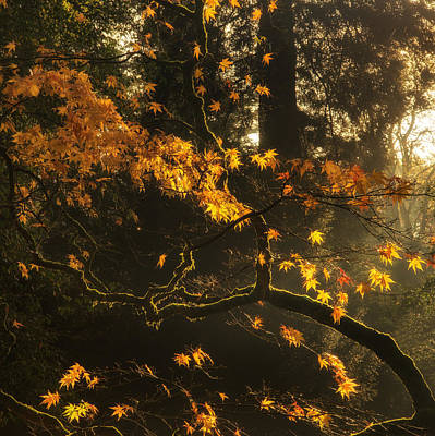 Beautiful Golden Autumn Leaves With Bright Backlighting From Sun Art Print by Matthew Gibson