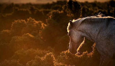Beautiful Image Of New Forest Pony Horse Backlit By Rising Sun I Art Print by Matthew Gibson