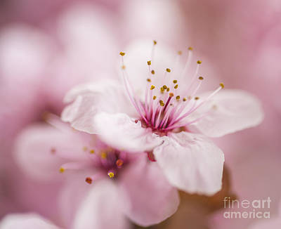 Beautiful Pink Spring Flowers  Art Print by Vishwanath Bhat