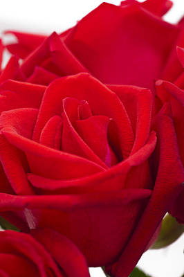 Photograph - Beautiful Red Rose Close Up Shoot by U Schade