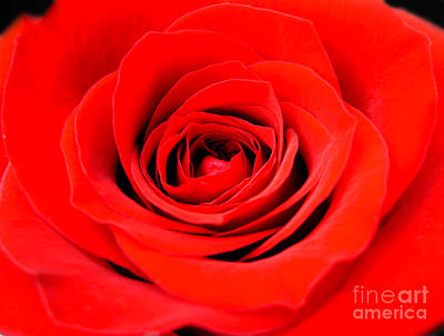Photograph - Beautiful Red Rose by Nina Ficur Feenan