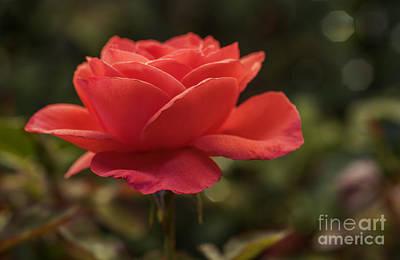 Peach-colored Photograph - Beautiful Rose by Vishwanath Bhat