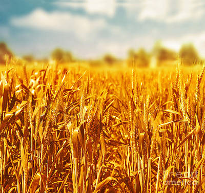 Photograph - Beautiful Wheat Field  by Anna Om