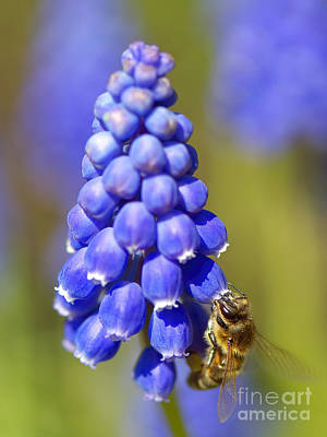 Photograph - Honeybee On Grape Hyacinth by Sharon Talson