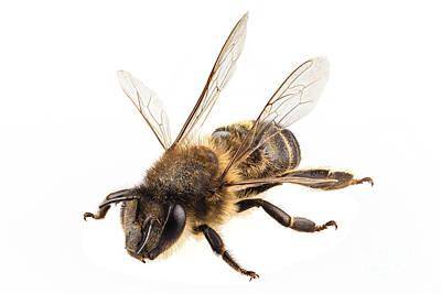 Creative Charisma - Bee species apis mellifera common name Western honey bee or Euro by Pablo Romero