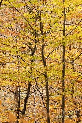 Photograph - Beech Trees In Autumn by Adrian Bicker