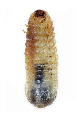 Ventral View Photograph - Beetle Larva by F. Martinez Clavel