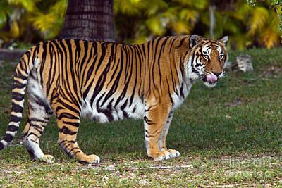 Royal Bengal Tiger Photograph - Bengal Tiger by Mark Newman